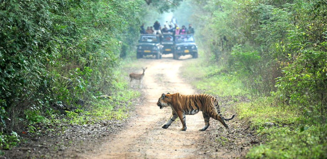 The carefree tiger and a curious deer- plus a group of exited humans at a distance! Somewhere in an Indian jungle Animal Themes Animal Wildlife Dirt Road Forest Nature Outdoors Plant Tiger Walking