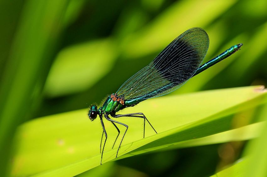 Animal Animal Themes Animal Wildlife Animal Wing Animals In The Wild Banded Demoiselle Blade Of Grass Close-up Damselfly Day Focus On Foreground Green Color Growth Insect Invertebrate Leaf Nature No People One Animal Outdoors Plant Plant Part