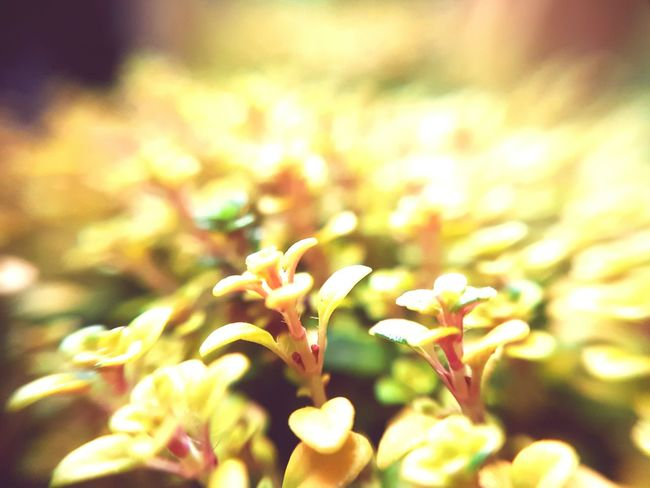 Out of thyme Growth Nature Fragility Beauty In Nature Plant Close-up Freshness Herb Thyme Thyme Plant Thyme Time Thymus Scented Fragrant Foliage Leaves Leaves🌿 Leaves_collection Plant Plant Photography Herbs Herbs And Spices Yellow Green