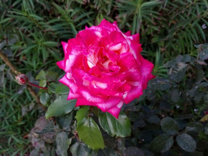 Pink rose in