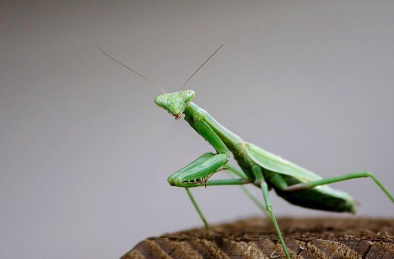 Close-up of mantis