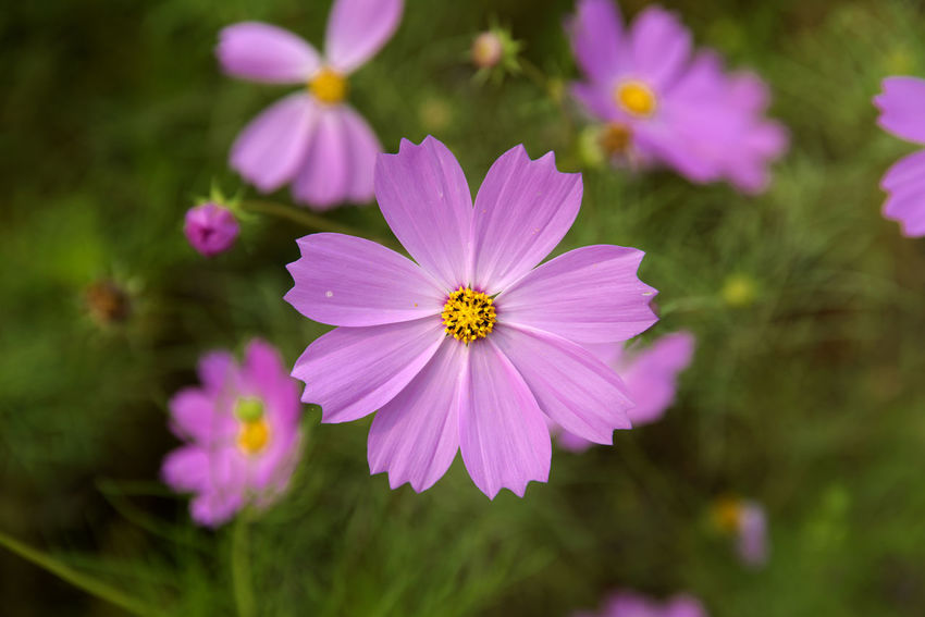 cosmos flower at Hakwon Farm in Gochang, Jeonbuk, South Korea Autumn Cosmos Flower Autumn Flower Beauty In Nature Blooming Close-up Cosmos Flower Day Flower Flower Head Focus On Foreground Fragility Freshness Gochang Growth Hakwon Farm Nature No People Osteospermum Outdoors Petal Plant Pollen