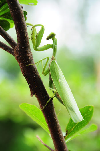 Animal Themes Animals In The Wild Beauty In Nature Close-up Day Fragility Green Color Growth Insect Leaf Matis Nature No People One Animal Outdoors Plant