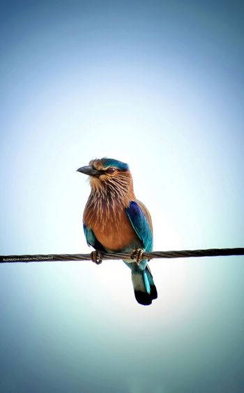 Close-up of bird perching on cable against clear sky