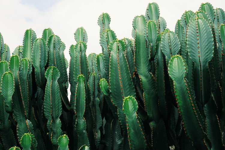 Cactus Beauty In Nature Botany Cactus Close-up Green Green Color Growing Growth Majestic Nature Outdoors Plant Remote Sky Tall Tall - High Tranquility The Week on EyeEm Editor's Picks Perspectives On Nature