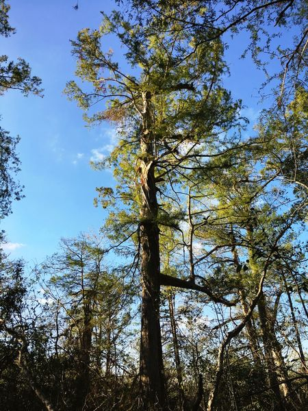 Tree Forest Nature Low Angle View Growth Day Tree Trunk Outdoors Sky Beauty In Nature No People Branch Scenics Tranquility EyeEmNewHere