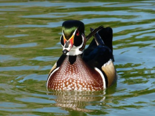 One Animal Animals In The Wild Animal Themes Bird Lake Swimming Animal Wildlife Duck Water No People Outdoors Nature Day Close-up