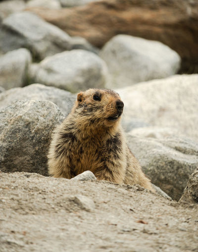 A himalayan marmot looking away from the camera in ladakh, india