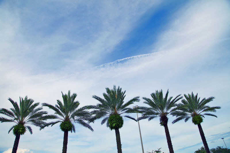 Beauty In Nature Cloud Cloud - Sky Contrail Day Florida Low Angle View Nature No People Outdoors Palm Tree Palm Tree Palm Trees Scenics Sky Tree Vapor Trail