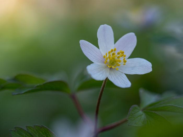 Anemone Garden