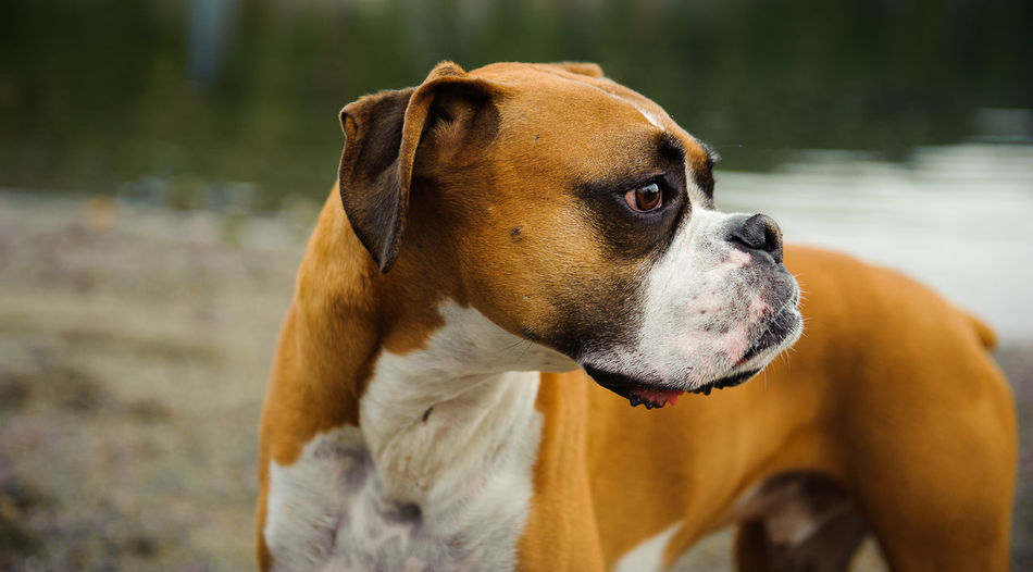 Close-up of boxer dog looking away against lake