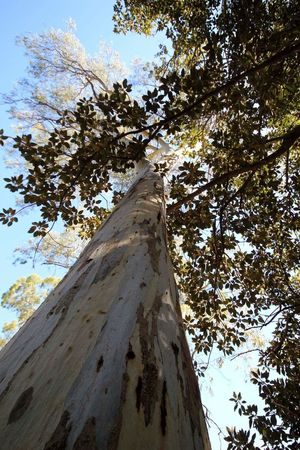 Tall Trees Gum Trees South Australia Looking Up Can Be So Rewarding Looking Up Through The Trees