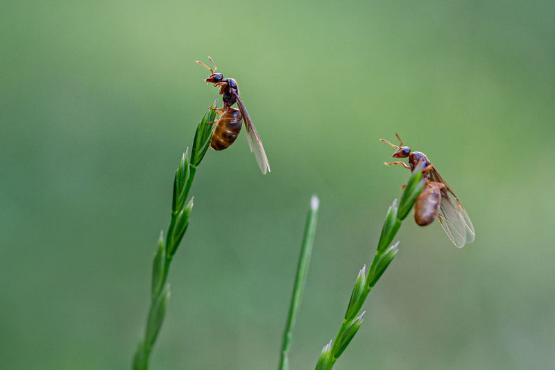 Yellow meadow ant, winged queens climbed to the top of a grass stem, preening wings and antenna