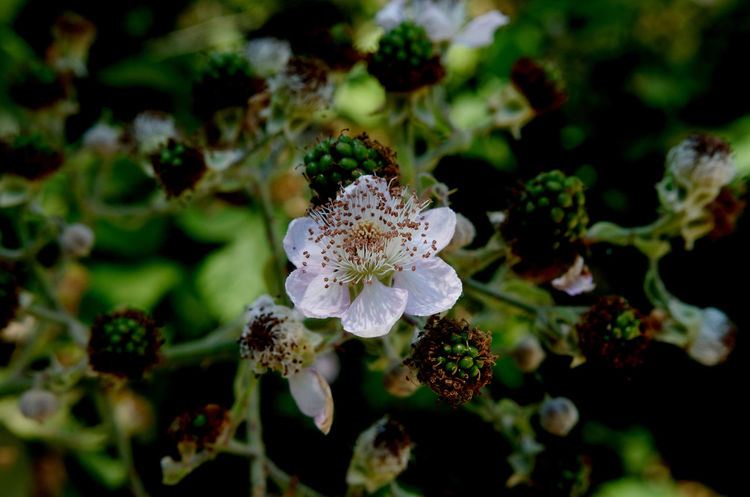 Beauty In Nature Blackberry Brombeerblüte Brombeere Close-up Day Flower Flower Head Fragility Freshness Growth Nature No People Outdoors Petal Plant