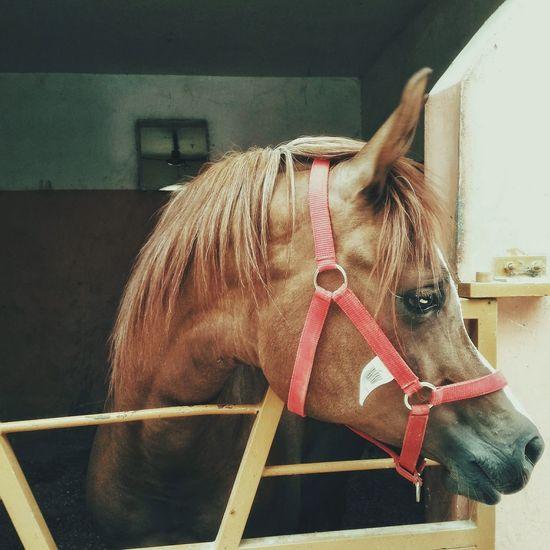 Horse Domestic Animals Mammal One Animal Animal Themes No People Day Outdoors Close-up Horse Photography  Horses Horse Life Horsing