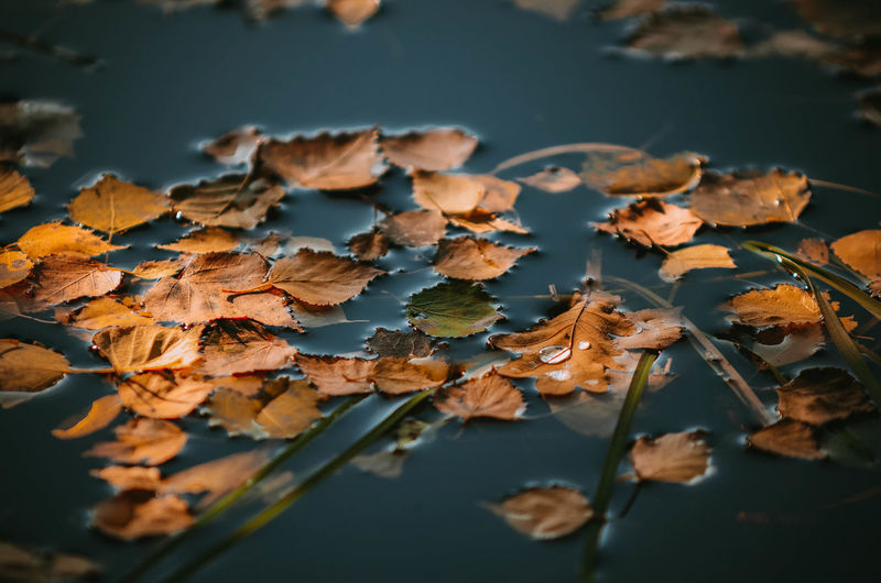 Close-up of maple leaves fallen on water