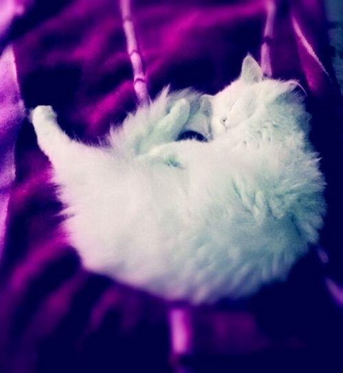 My cat Angoracat Pink And White