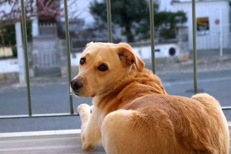 Dog Pets Domestic Animals Golden Retriever One Animal Animal Mammal Animal Themes No People Day Retriever Outdoors Beagle Close-up Focus