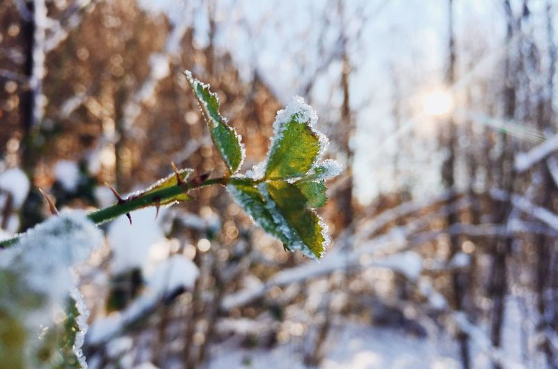 •frozen• Nature Growth Leaf Beauty In Nature Tree Plant Outdoors Close-up No People Day Branch Twig Fragility Freshness Frozen Frozen Nature Winter Light Snow Cold Temperature Exceptional Photographs Tadaa Community