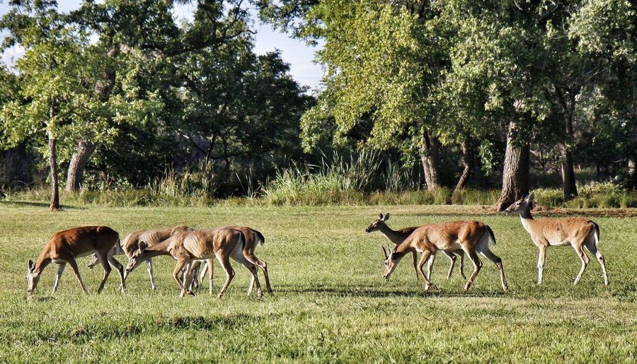 Herd of deer on grassy field