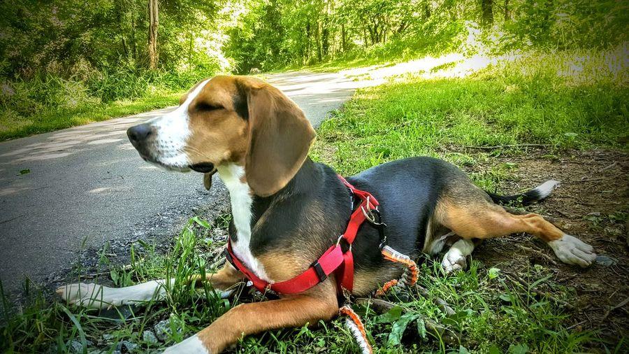 Beaglelovers Dog Pets Bagel Pet Portraits