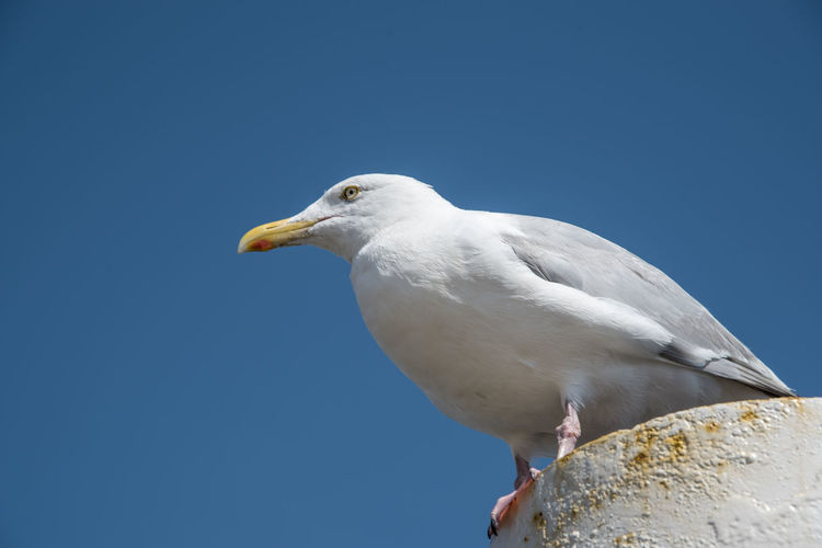 Texel, the netherlands. august 13, 2021.screaming seagull on a mooring post.
