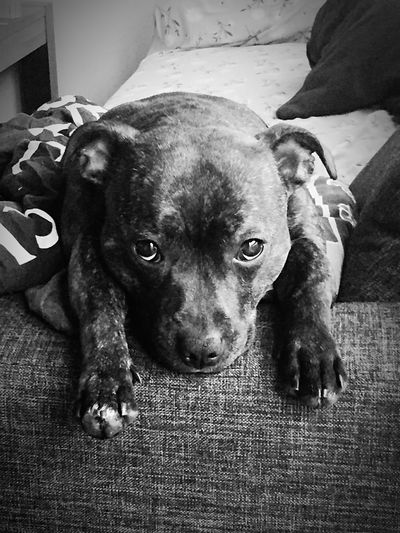 My little princess 💜 Staffordshire Bull Terrier Lookatthatface Mydogiscoolerthanyourkids Can't Live Without Staffylove Mylittleprincess Ilovemydog Cute Pets Socute💕 Enjoying Life