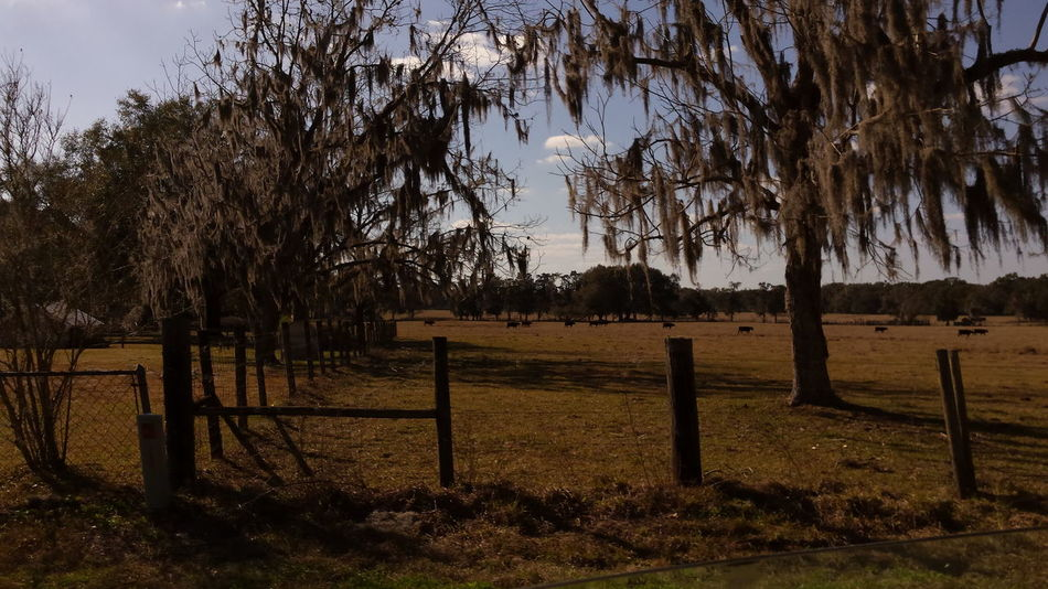 CarmenVazquezPhotography Ocala Florida Eye4photography  Florida Nature Cows In The Feilds Naturephotography Florida MyPics Landscape_photography Trees And Sky Naturelovers Naturephotography Taking Photos Beautiful View Nature
