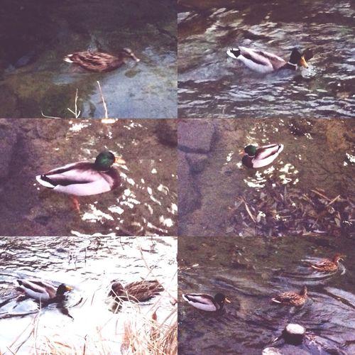 The Cheonggye Creek Cheonggyecheon Duck Ducks