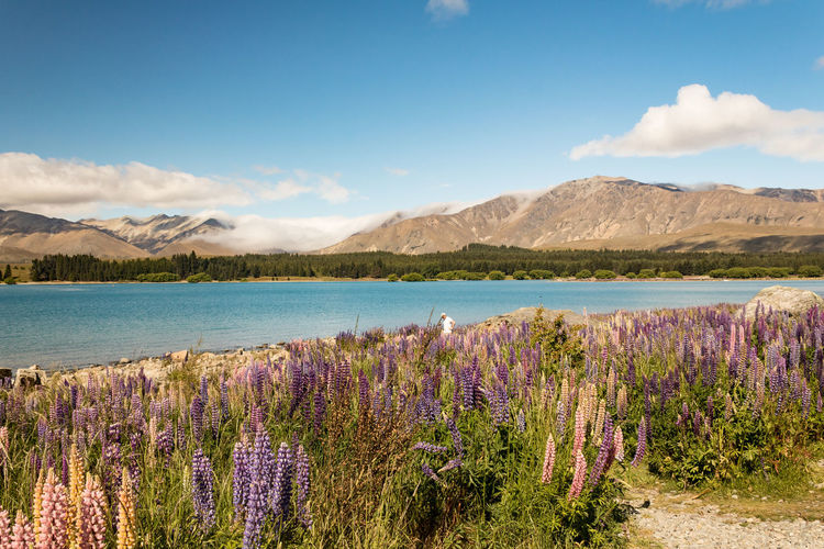 Beautiful Wanaka Wanaka New Zealand Scenery Lupin Lake Sky Beauty In Nature Mountain Plant Scenics - Nature Water Tranquil Scene Tranquility Flower Growth Nature Cloud - Sky Flowering Plant Day Non-urban Scene No People Environment Mountain Range Outdoors Lavender Purple Flowerbed Blue