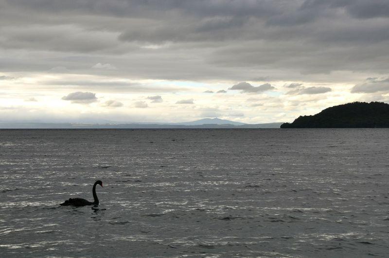 Black swan New