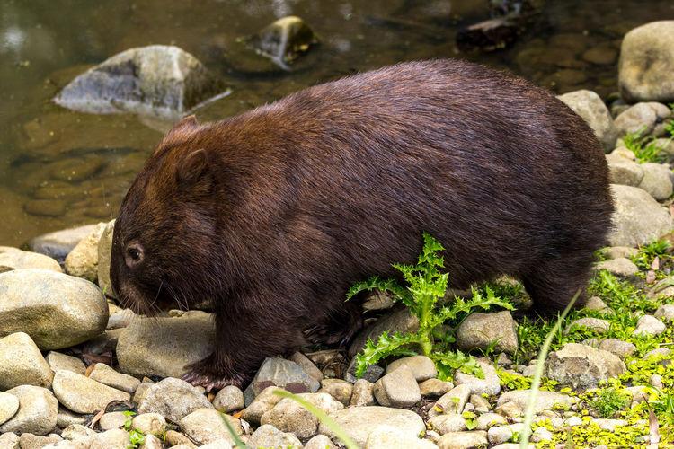 Close-up of wombat walking at lakeshore