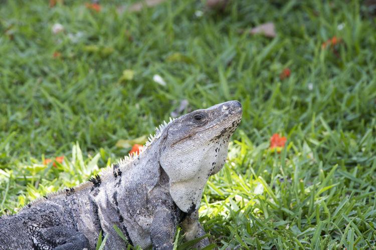 Animals In The Wild Iguana Nature Reptile Tulum , Rivera Maya.