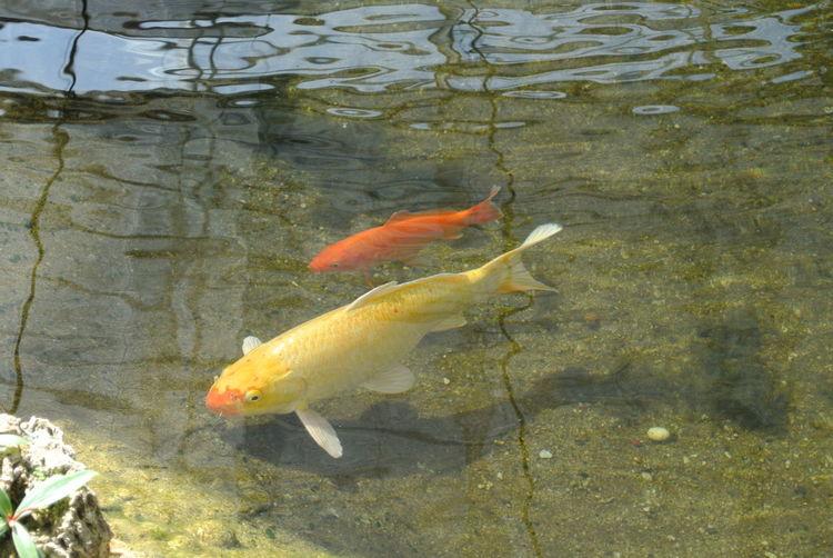 Fish Water Swimming Carp Animal Themes Koi Carp Sea Life High Angle View Animals In The Wild Outdoors Nature Animal Wildlife Day Close-up