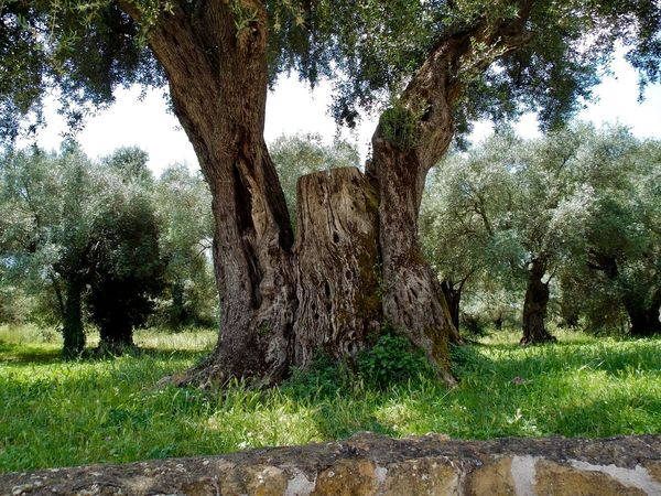 Villa Hadriana Old Olive Tree Beauty In Nature Day Field Grass Growth Landscape Nature No People Olive Tree Blue Sky Outdoors Scenics Sky Tranquility Tree Tree Trunk