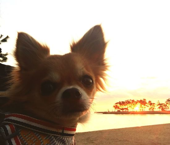 One Animal Domestic Animals Pets Animal Themes Dog Mammal Looking At Camera Portrait Sky No People Close-up Outdoors Nature Water Pomeranian Day Cavalier King Charles Spaniel 2yearsold  Chihuahua Love ♥ Chihuahua Smile Niko Family Make You Coffee