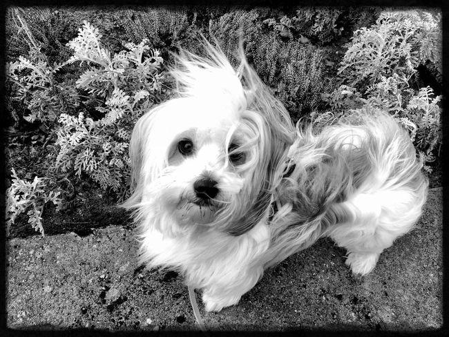 犬 Bolonka BolonkaZwetna Blackandwhite Sweetheart Black & White Schwarzweiß Schwarz & Weiß Pets Portrait Dog Looking At Camera Close-up Puppy