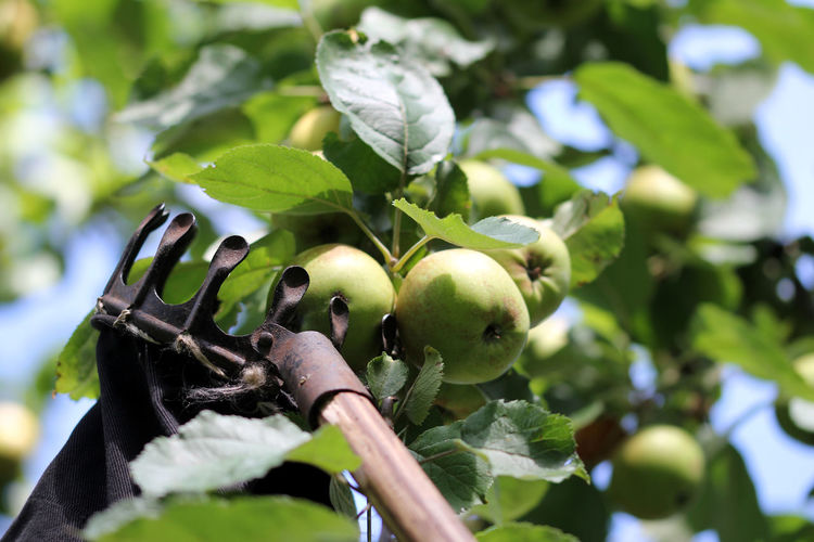 Apfelernte Apfelpflücker Apple Tree Apples Branch Close-up Day Focus On Foreground Food Food And Drink Freshness Fruit Fruit Tree Green Color Growth Healthy Eating Leaf Nature No People Outdoors Plant Plant Part Ripe Selective Focus Sunlight Tree