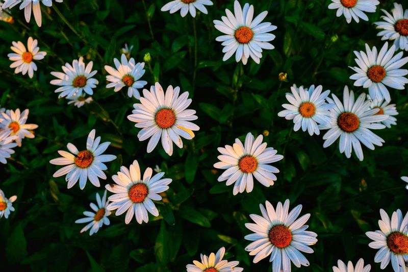 Beautiful flower under sunlight in morning Beautiful Nature Large Group Of Objects Group Of Objects White Flower Sunlights EyeEm Best Shots EyeEm Nature Lover Still Life Beauty Natrual Beauty  Full Frame Flowering Plant Flower Freshness Vulnerability  Fragility Plant Petal Flower Head Growth Close-up Beauty In Nature Inflorescence White Color Nature Daisy High Angle View Pollen Beautiful Beautiful Nature Large Group Of Objects Group Of Objects White Flower Sunlights EyeEm Best Shots EyeEm Nature Lover Still Life Beauty Natrual Beauty  Full Frame Flowering Plant Flower Freshness Vulnerability  Fragility Plant Petal Flower Head Growth Close-up Beauty In Nature Inflorescence White Color Nature Daisy High Angle View Pollen