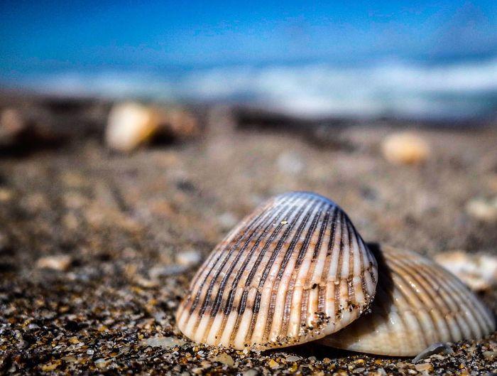 Sea Shell Close