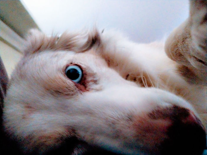 wake up, I love you sooooo much!!!!!!! Border Collie Blue Eyes Awesome Pets Eyeball Portrait Looking At Camera Close-up Animal Nose Animal Eye Snout Animal Face Pampered Pets At Home Animal Body Part Animal Head  Moments Of Happiness