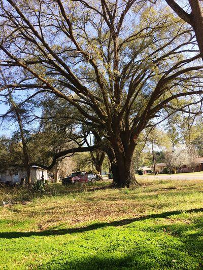 Tree of age