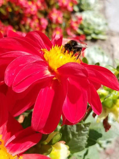 A bumblebee gathering nectar from a Dahlia flower. Flower Flowers Blossom Plant Plant Life Botany Bug Wings Dahlia Pollinator Nature Nectar Vibrant Color Bright Colors Summer Garden Garden Photography Flower Head Red Petal Insect Buzzing Bumblebee Pollen In Bloom Blooming Stamen Symbiotic Relationship