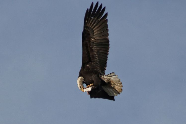 Bird Of Prey One Animal Eagle - Bird Bird Flying Bald Eagle Spread Wings No People Outdoors Animal Wildlife Animal Themes Animals In The Wild Day Nature Sky