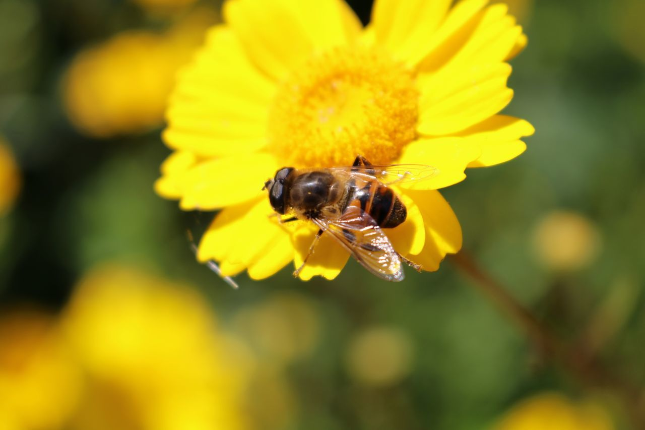 Close-Up Of Bee Pollinating On Yellow Flower