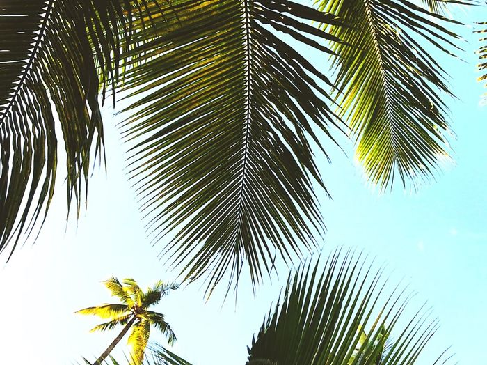Tropical vibes Palm Tree Low Angle View Tropical Climate Tree Plant Sky Leaf Tranquility Outdoors Coconut Palm Tree Palm Leaf No People Day Sunlight Nature Plant Part EyeEmNewHere My Best Travel Photo A New Beginning