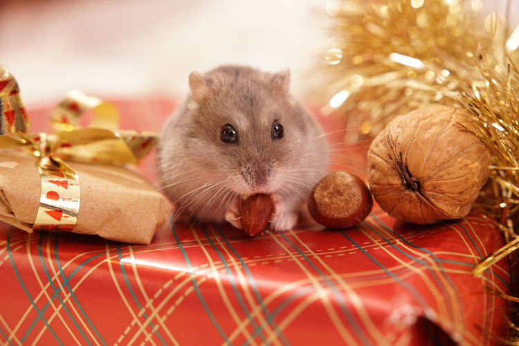 Close-up of rodent amidst christmas decoration on table