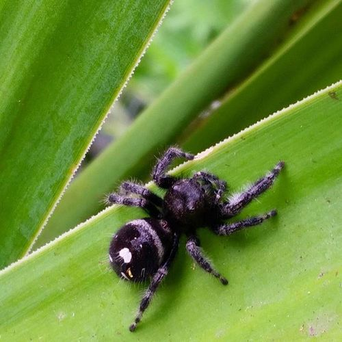 An insanely large Jumpingspider in my garden. Justgoaheadandjump