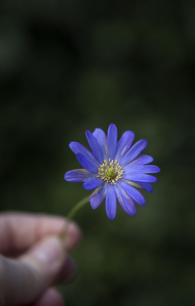 Daisies African Daisies Blue Daisy Daisy Flower Flower Head Flowering Plant Hand Hand Holding Flower Human Hand Osteospermum Petal Purple