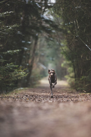Young hunting dog runs fast on a path in the forest Animal Themes Best Friend Of Human Best Friend Of Man Day Domestic Animals Fast Forest Hunting Hunting Dog Leaves Mammal Nature No People One Animal Outdoors Path Path In Nature Path In The Forest Path In The Woods Running Young